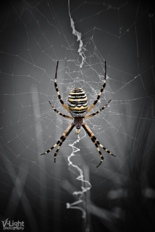 Golden Banded Garden Spider by V-Light