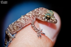 tiny gecko sitting on index finger