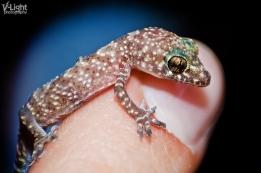 tiny gecko sitting on index finger