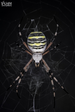 Banded Argiope Spider 23-09-2013