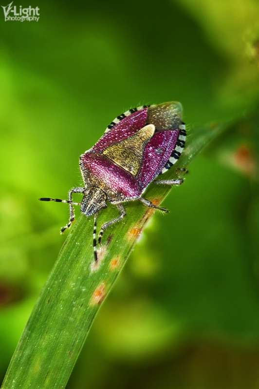 Sloe Shield Bug (Dolycoris baccarum) | 2011